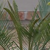 Cycas thouarsii x cupida new flush 4/5/2016