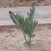 Encephalartos nubimontanus newly planted on 4/3/2016