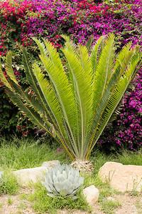 Encephalartos species