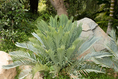 Encephalartos princeps after a new flush