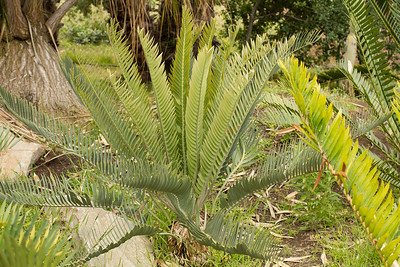 Encephalartos (something from eugene-maraisii complex)