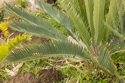 Encephalartos with new flush (something from euguene maraisii complex)
