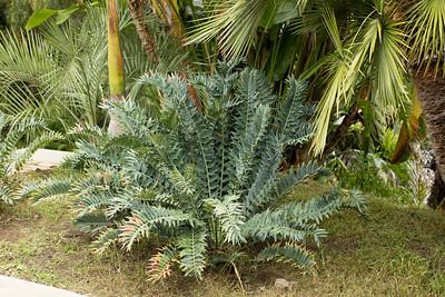 Encephalartos arenarius blue form
