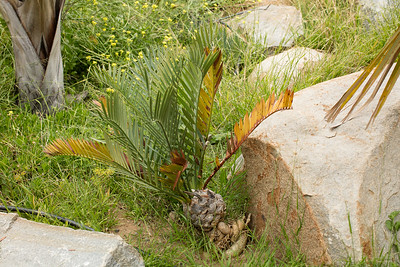 Encephalartos princeps with root system partially exposed