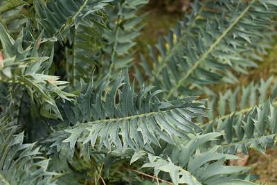 leaf detail, blue form Encephalartos arenarius