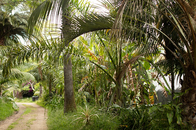 Dypsis prestoniana with extra long leaves, one hanging over driveway
