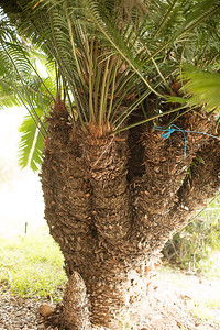 Cycas species (perhaps thouarsii or rumphii)