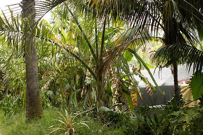 Shade grown Dypsis prestoniana pushing extra long leaves