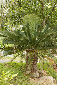 Encephalartos princeps pushing new flush