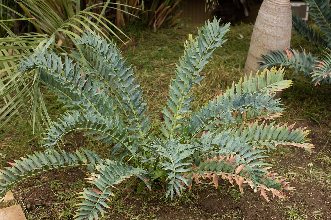 Blue form Encephalartos arenarius