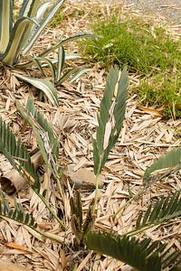Encephalartos (eugene-maraisii complex)