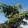 Caryota no leaves
