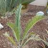 Encephalartos laevifolius (Kaapsehoop variety)