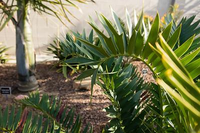 Encephalartos horridus x woodii hybrid leaf details