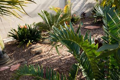 Encephalartos horridus x woodii leaf details
