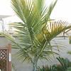 Kentiopsis oliviformis