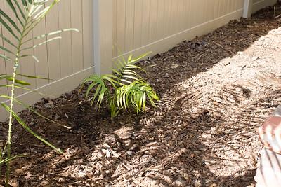 """Dypsis """"honknona"""" sp. after planting"""