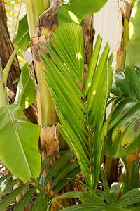 Veitchia spiralis leaf opening