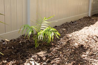 "Dypsis ""honkona"" sp after planting"