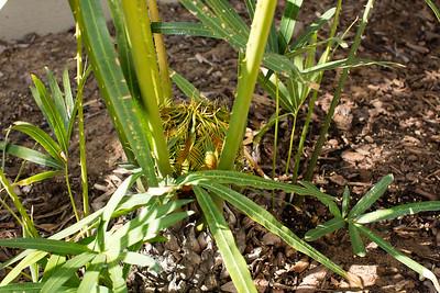 Female Cycas tropophylla x micholitzii