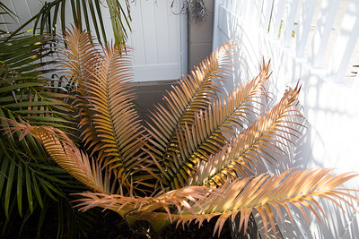 Ceratozamia mexicana bronze flush