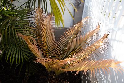 Ceratozamia bronze flush