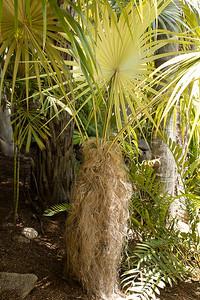 Cocothrinax crinita