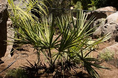 Hyphaene palm