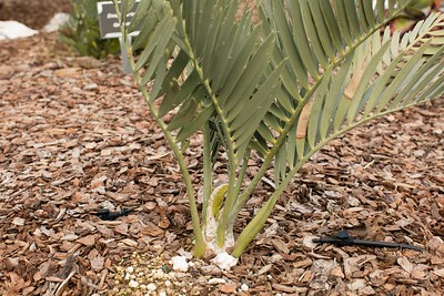 Encephalartos nubmontanus winter flush