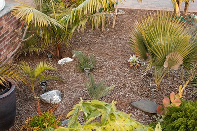 Encephalartos in center (dyerianus center, nubimontanus foreground), and Dypsis palms with Copernicia textillis