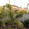 Dypsis prestoniana center, with Encephalartos cycads on either side (l. E horridus x woodii, and r. E aranearius x woodii).