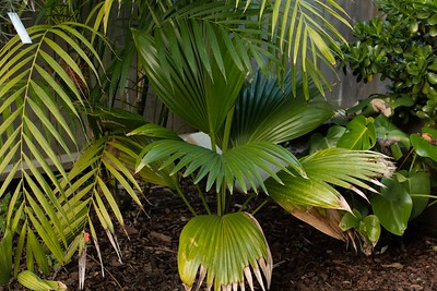 Pritchardia unknown (martii on label)