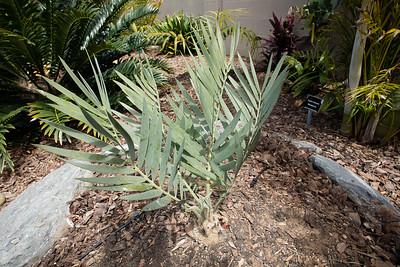 Encephalartos dyerianus flushing