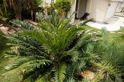 Encephalartos natalensis x arenarius flushing
