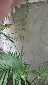 Volunteer Chamaedorea (glaucifolia?)