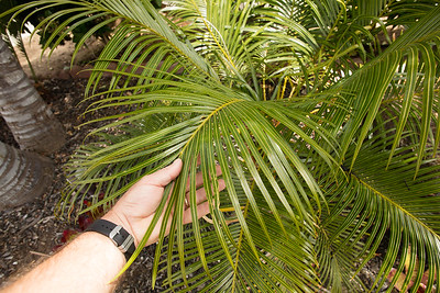 Cycas species unknown