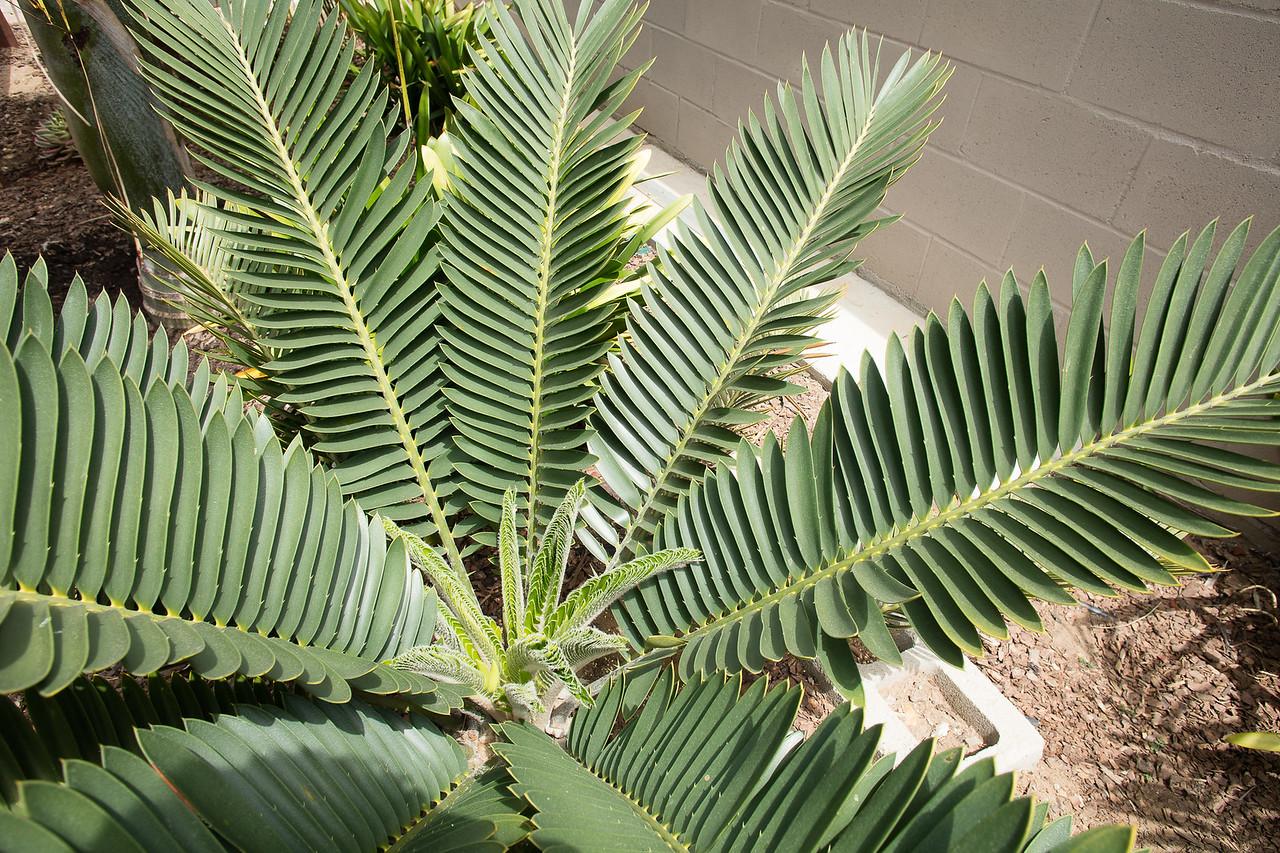 Encephalartos turnerii flushing