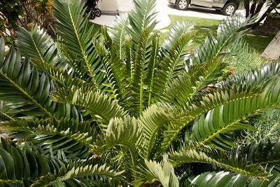 Flush on Encephalartos natalensis x arenarius