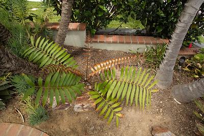 Ceratozamia latifolia hybrid