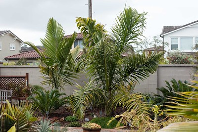 Dypsis prestoniana with Cycads and Kentiopsis oliviformis