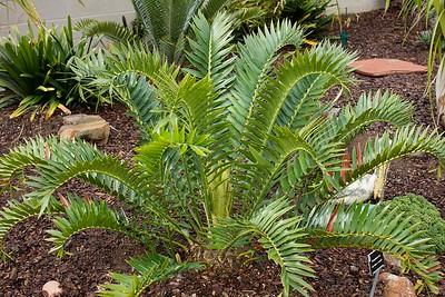 Encephalartos horridus x woodii