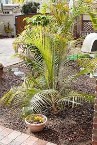Ravenea glauca palm