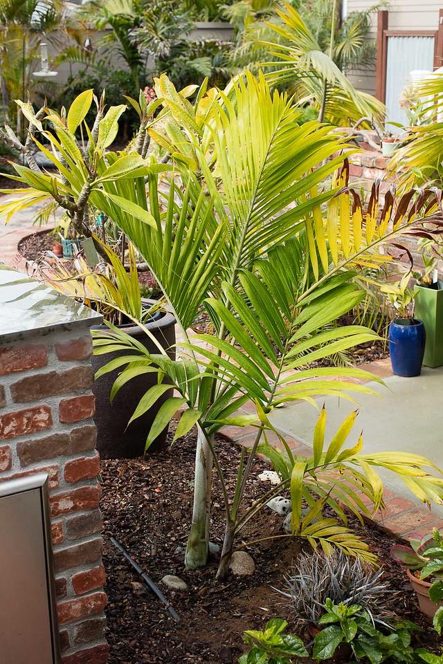 Dypsis cabadae palm
