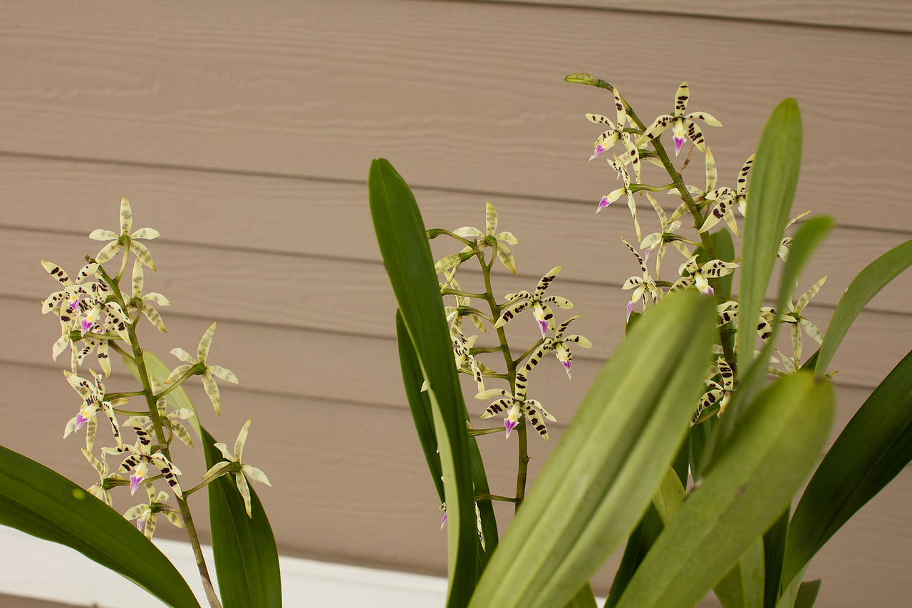Encyclia prismatocarpa blooming