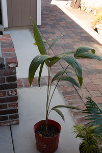 Dypsis basilonga from Palm Society Auction