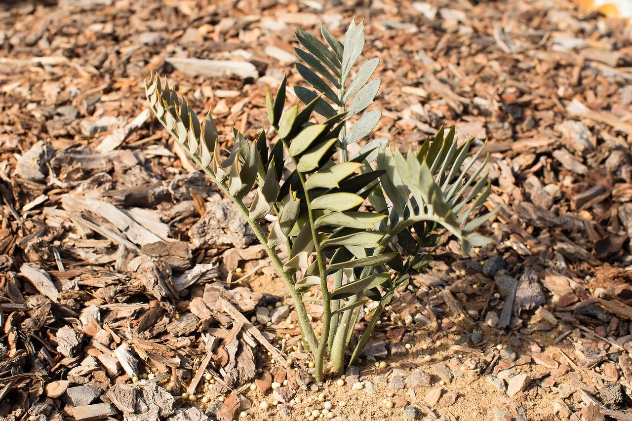 Encephalartos (arenarius blue form x horridus) x latifrons