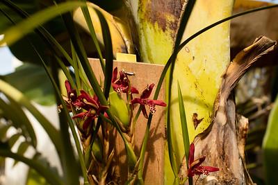 Orchid blooms on Maxillaria tenuifolia