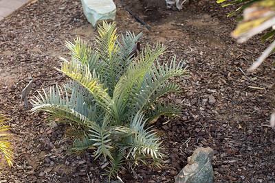 Encephalartos trispinosis