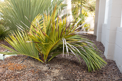 Double decipiens palm with red emergant spear