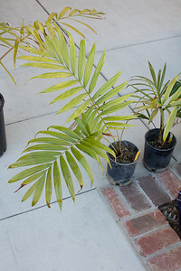 Dypsis lasteliana from Palm Society Auction